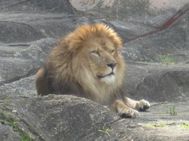 ライオン!!