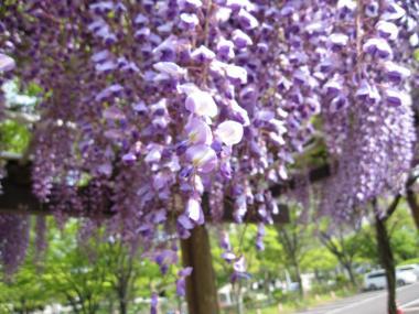 風にゆれる藤の花