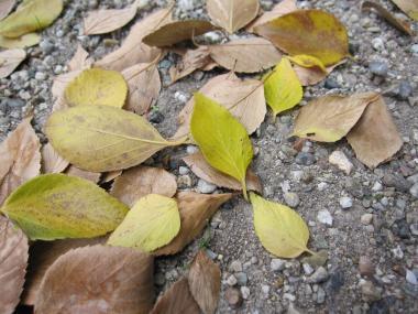 黄色葉の落ち葉