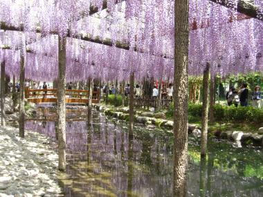 水面に映る藤の花