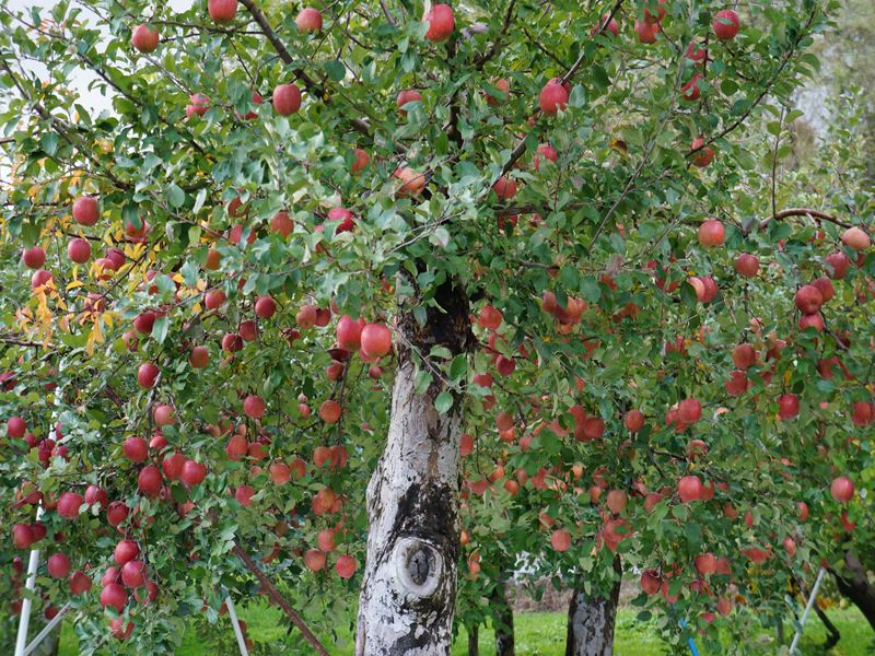 青森市のリンゴ園