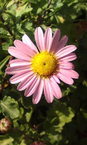 コハマギク(ピンク)