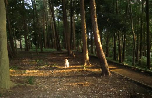 CIMG2940夕暮れの森のカノン