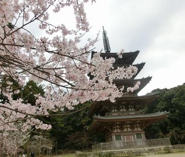 CIMG0960桜と五重塔