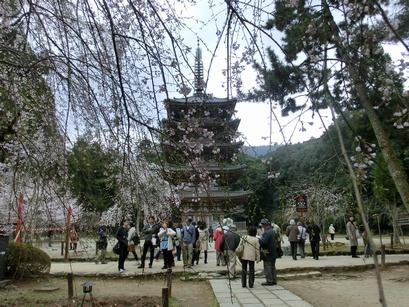 CIMG0957桜越しの五重の塔