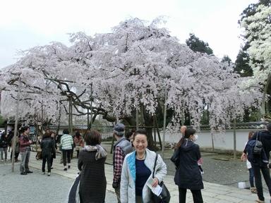 CIMG0938桜と美女1