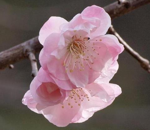 桜鏡 131
