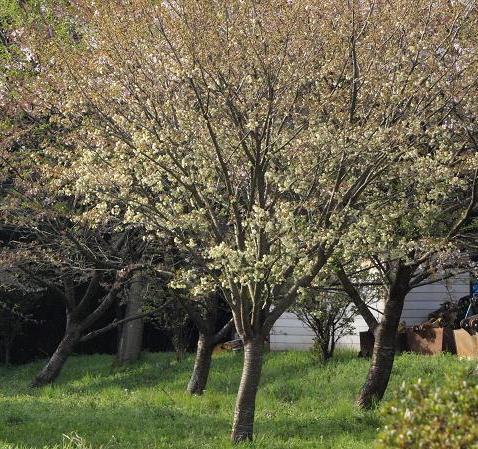 ウコン桜018