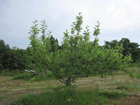 IMG_5286りんごの木