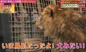 犬みたいなライオン