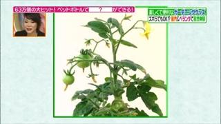 プチトマトの実が成る