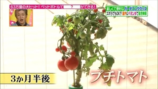 3ヶ月半後のプチトマト