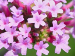a1170_000196+ピンクの花_convert_20130110194933