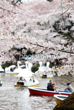 748473 井の頭恩賜公園の桜