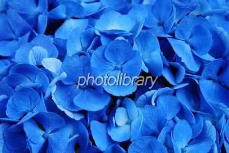 793330 青い紫陽花