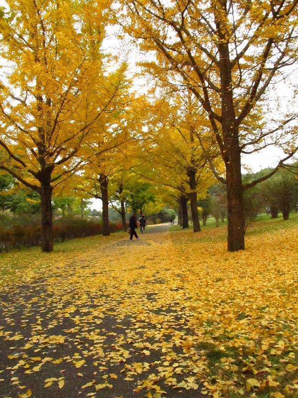 昭和記念公園イチョウ