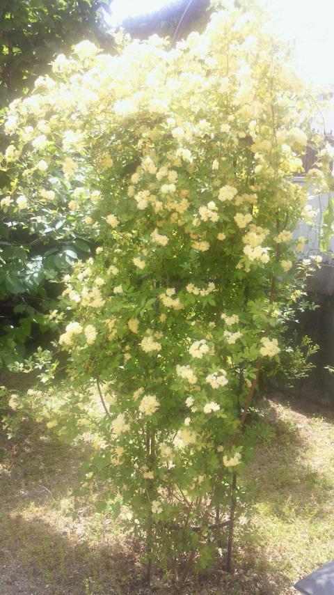 木香薔薇1