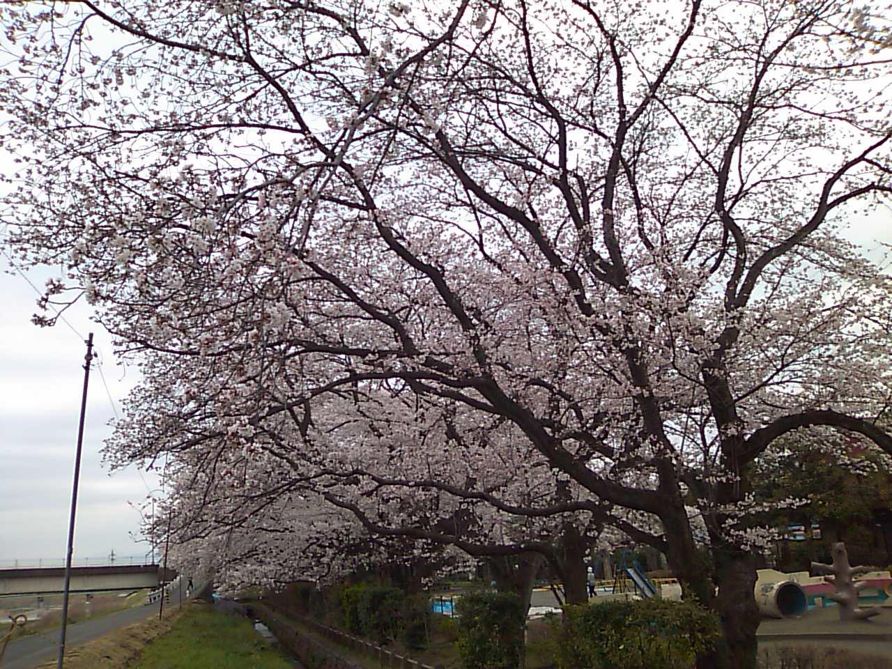桜が満開の元横山公園。