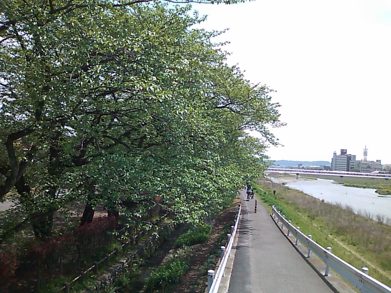 青々とした緑の桜。