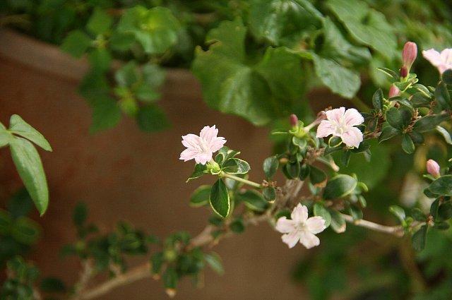 再開花 紫丁花