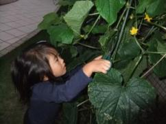 きゅうり収穫1