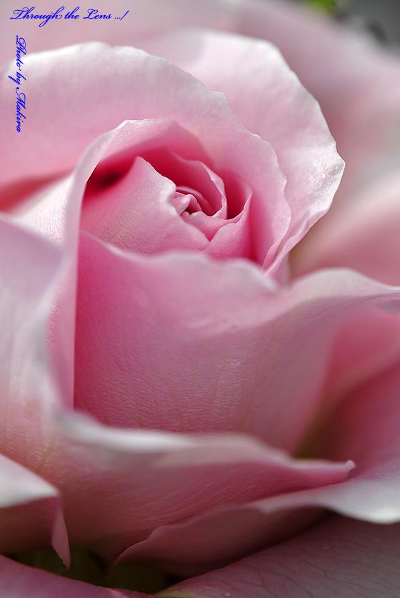 ピンク・フレンチ・レース(Pink French Lace)日