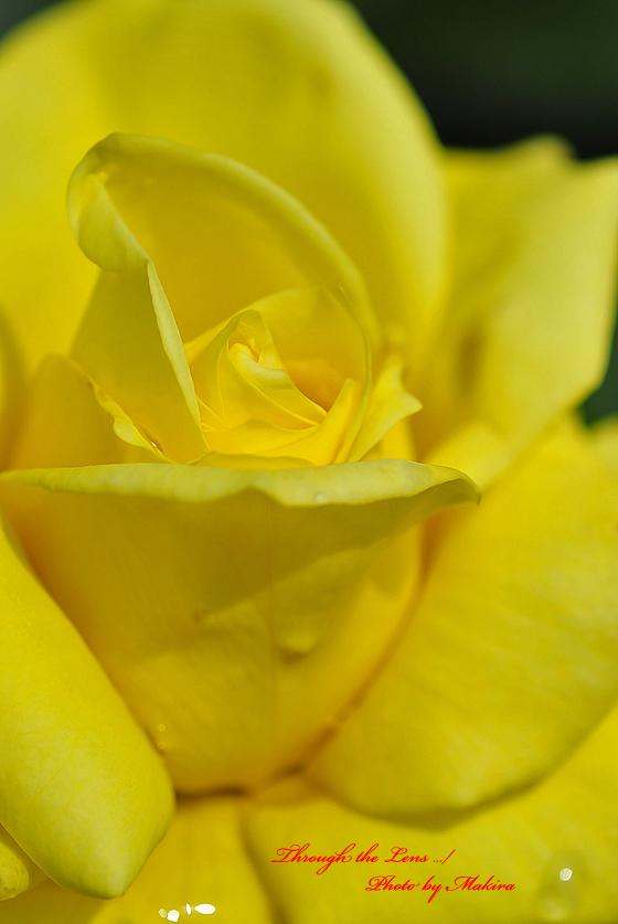 フリージア(Friesia)独