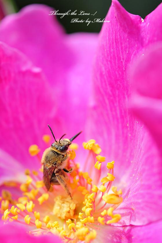 プレイガール(Playgarl)米とミツバチ
