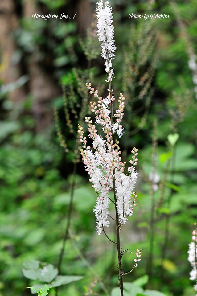 境内に咲くイヌショウマ1
