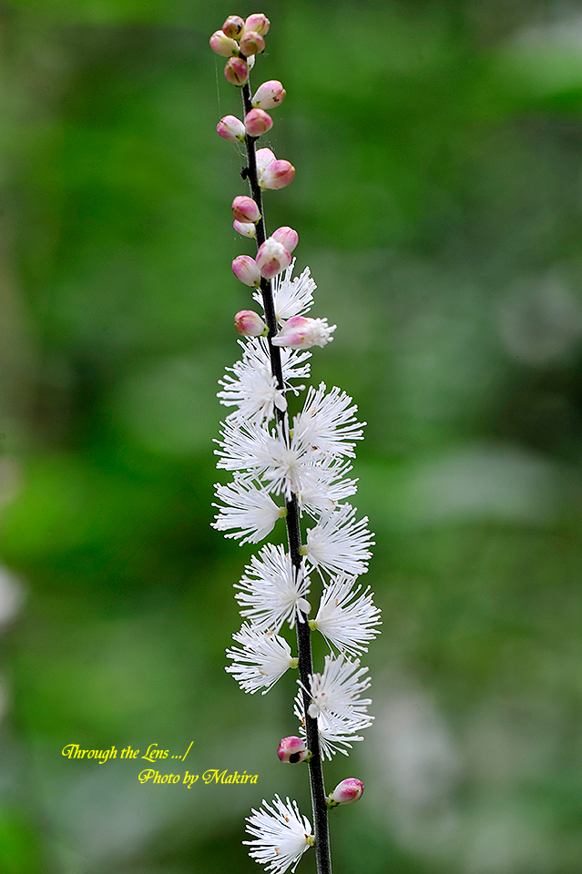 境内に咲くイヌショウマ5