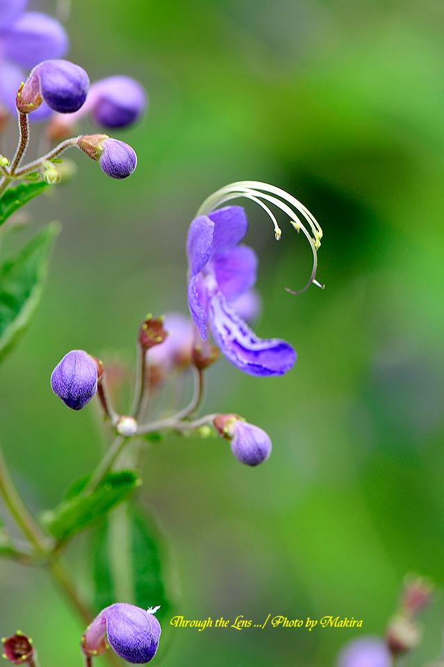 境内に咲くカリガネソウ2