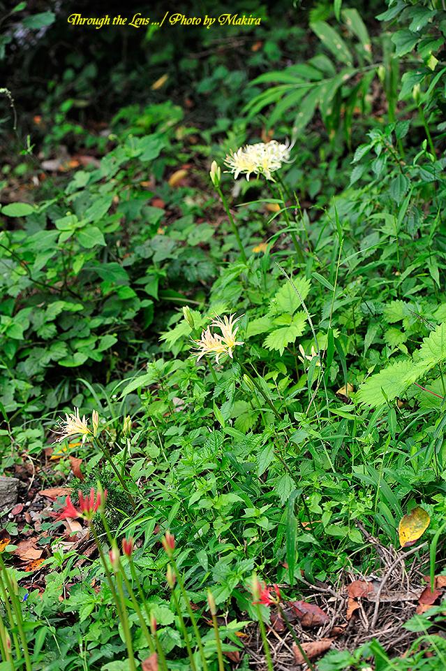 境内に咲く彼岸花1