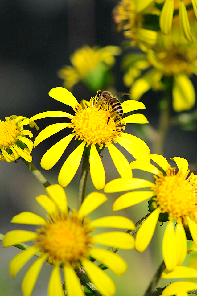 ツワブキとミツバチ