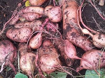 安納芋の初の収穫