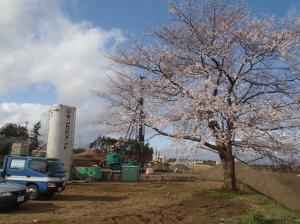 現場の桜が満開です (1)
