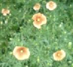 ナガミヒナゲシ