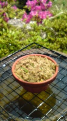 さぎ草の芽