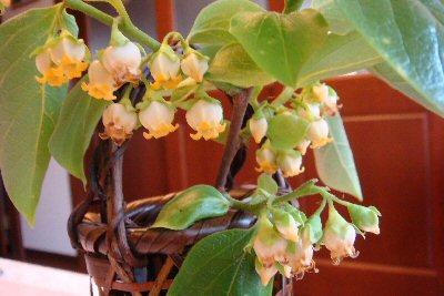 柿の花 003