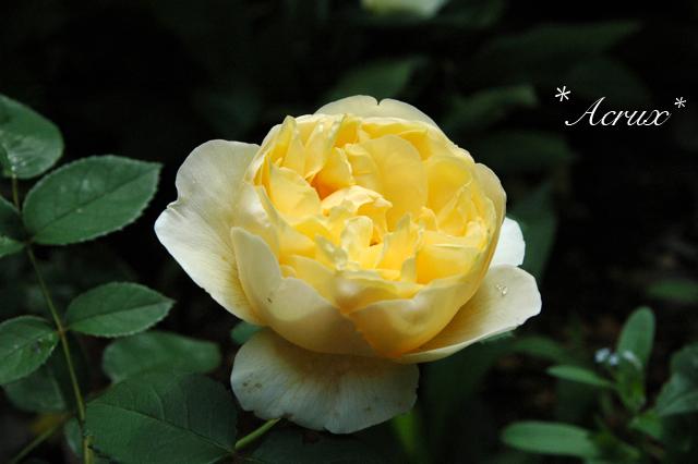2010rose_12.jpg