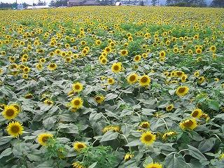 20110730ひまわり村 010