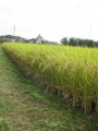 H26.10.3稲刈り前の畦の草刈り@IMG_3220