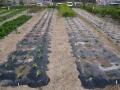 H26.10.30冬野菜類定植②ー①@IMG_3462