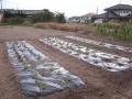 H26.10.30冬野菜類定植②-②@IMG_3466