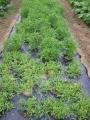 H26.11.9コモンクレス収穫@IMG_3601