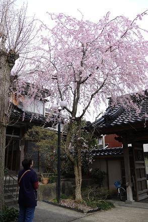 0417shidaresakura.jpg