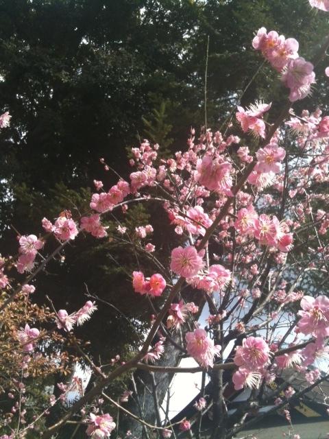 八坂神社の桃
