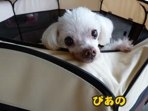 犬恋文譲渡会015