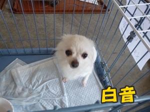 犬恋文譲渡会008