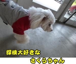犬恋文譲渡会037