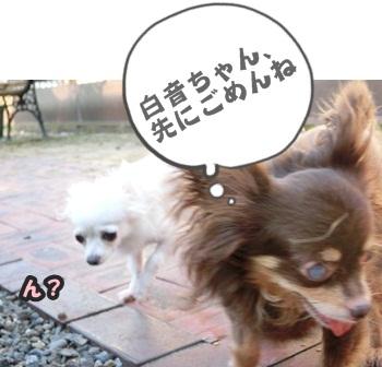 ちわわ軍団075
